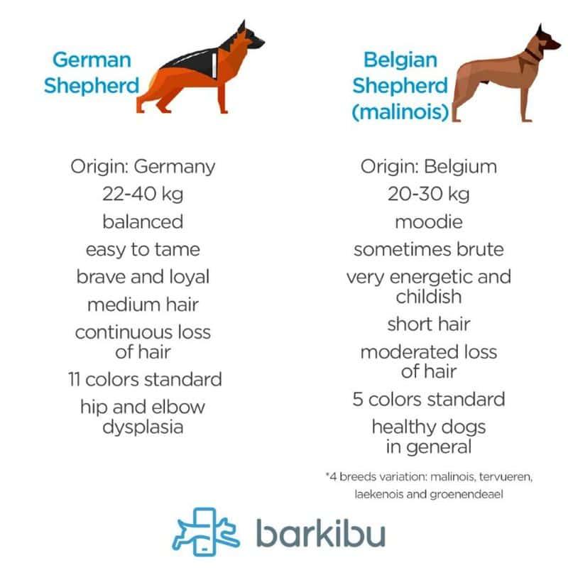 Diferencias entre pastor alemán y pastor belga