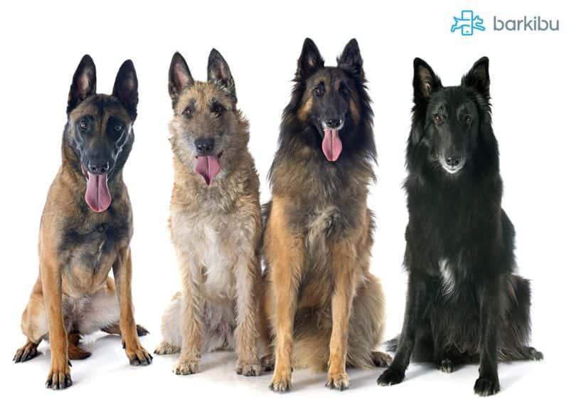 Cuatro variedades de pastor belga