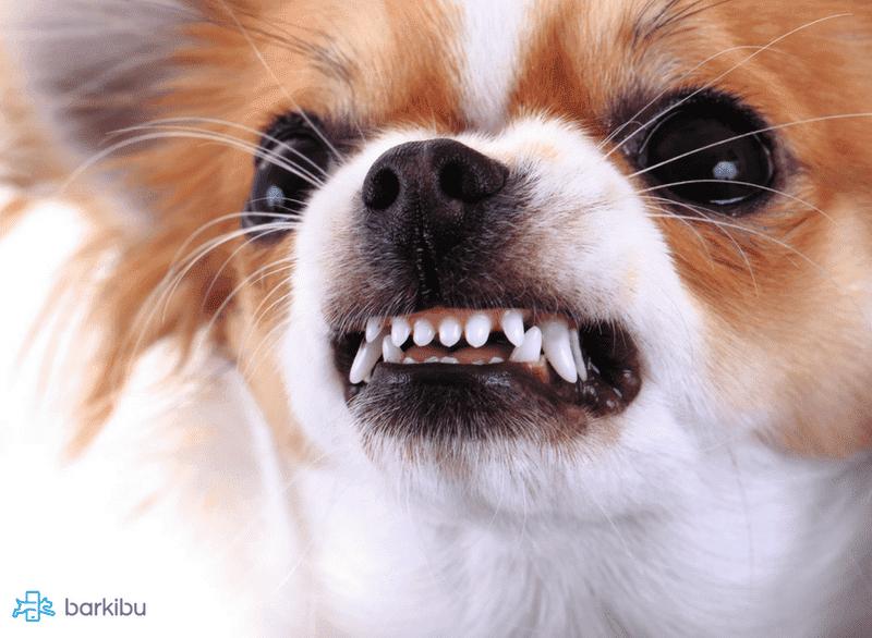 embarazo psicológico en perras síntomas y consejos barkibu es