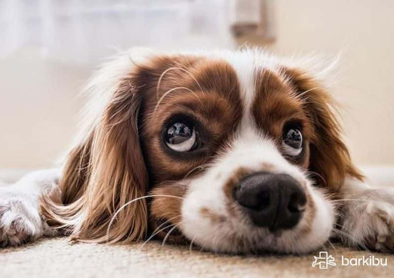 what does distemper vaccine do for dogs