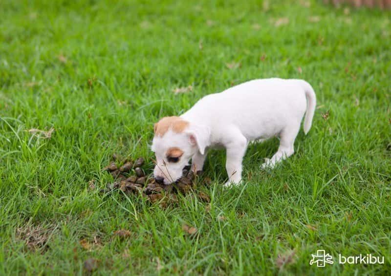 Mi Cachorro Se Come Sus Cacas Cómo Lo Evito Barkibu Es