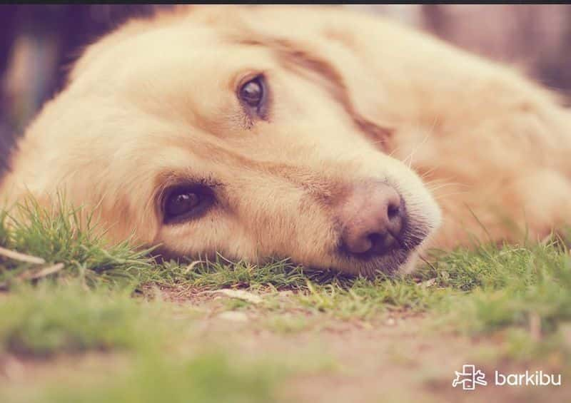Can I Give My Dog Paracetamol >> How To Comfort A Dog With A Fever At Home Never With