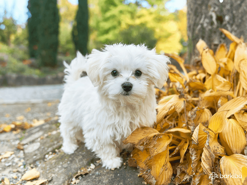 Perros Pequeños Razas Origen Y Ventajas Barkibu Es
