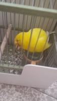 Sobreexcitado en aves, Un pájaro canario