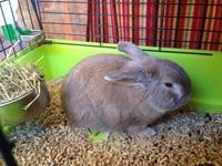 Mi roedor, un conejo angora macho, tiene nubes o película transparente blanca en los ojos, ojos rojos, y se rasca en los oídos