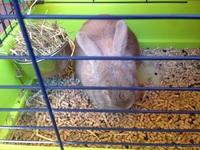 Nubes o película transparente blanca en los ojos en roedores, Conejo angora