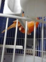 Dificultad para defecar en aves, canario