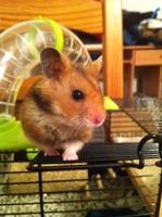 Estornudos en roedores, Hamster dorado/común