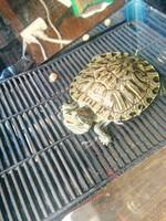 Respira con dificultad en reptiles, tortuga con orejas rojas