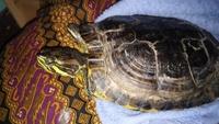 Dificultad para defecar en reptiles, Tortuga