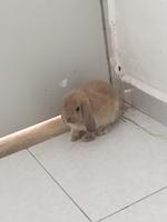 Tos en roedores, conejo holland lop
