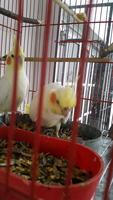 Arcadas en aves, Cocotilla
