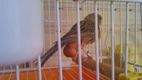 Dificultad para defecar en aves, canario de canto