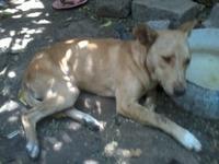 Orina muy poco en perros, pitbul-golden retriever