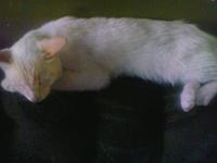 Nubes o película transparente blanca en los ojos en gatos, Cream Point