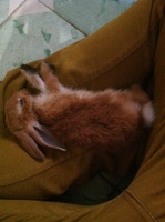 Estornudos en roedores, Conejo