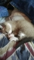 Nubes o película transparente blanca en los ojos en gatos, criollo como siames
