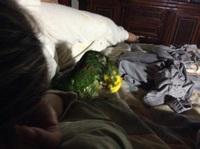 Cojera en aves, Loro cabeza amarilla