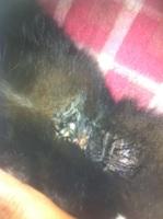 Mi gata, una smoking hembra, tiene dificultad para orinar