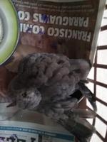 Dolor al contacto en aves, Tórtola