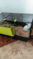 Estornudos en roedores, CONEJO ENANO