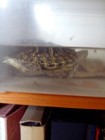 Temblores en reptiles, TORTUGA OREJAS ROJAS