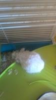 Mi roedor, un hamster ruso macho, está decaído