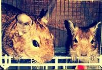 Respira con dificultad en roedores, Degu