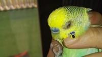 Nubes o película transparente blanca en los ojos en aves, periquito australiano