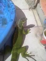 Mi reptil, una iguana verde hembra, tiene mal apetito