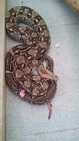 Mordeduras en reptiles, Boa cola roja