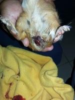 Sangrado en vagina en roedores, cuyo