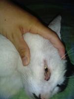 Nubes o película transparente blanca en los ojos en gatos, Bobtail americano