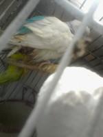 Mi ave, una periquito australiano hembra, tiene mal apetito