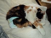 Incontinencia en gatos, Es tricolor, peluda, sin raza