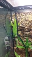 Mi reptil, un phelsuma madagascariensis macho, tiene heridas
