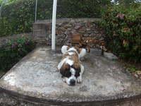 Mi perro san bernardo hembra, tiene sangre en orina