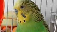 Mi ave periquito australiano macho, tiene agresiones y heridas