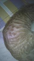 Flatulencia en gatos, gato manx