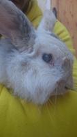 Nubes o película transparente blanca en los ojos en roedores, Conejo belier angora
