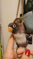 Pérdida de piel en aves, Agaporni