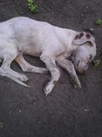Ringo, mi perro desconocida macho, tiene ojos amarillos