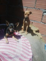 Nina, mi perro pincher hembra, tiene ojos amarillos