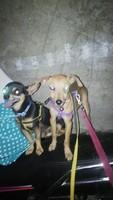 Ojos amarillos en perros, pincher