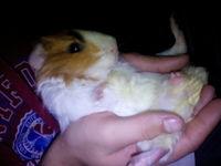 Noisekick, mi roedor cobaya común macho, tiene diarrea, mal apetito, y dificultad para defecar