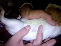Dificultad para defecar en roedores, cobaya común