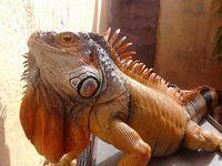 Diarrea en reptiles, Iguana
