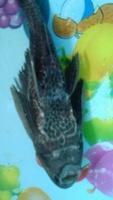 Respira con dificultad en peces, Limpia peceras