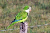 Cata, mi ave catas verdes macho, tiene mordeduras