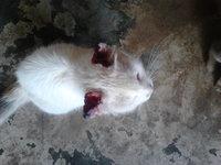 Sed excesiva en gatos, Angora Turco